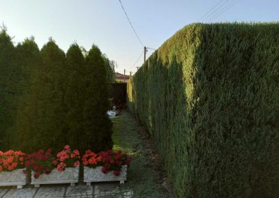 upravený vysoký živý plot
